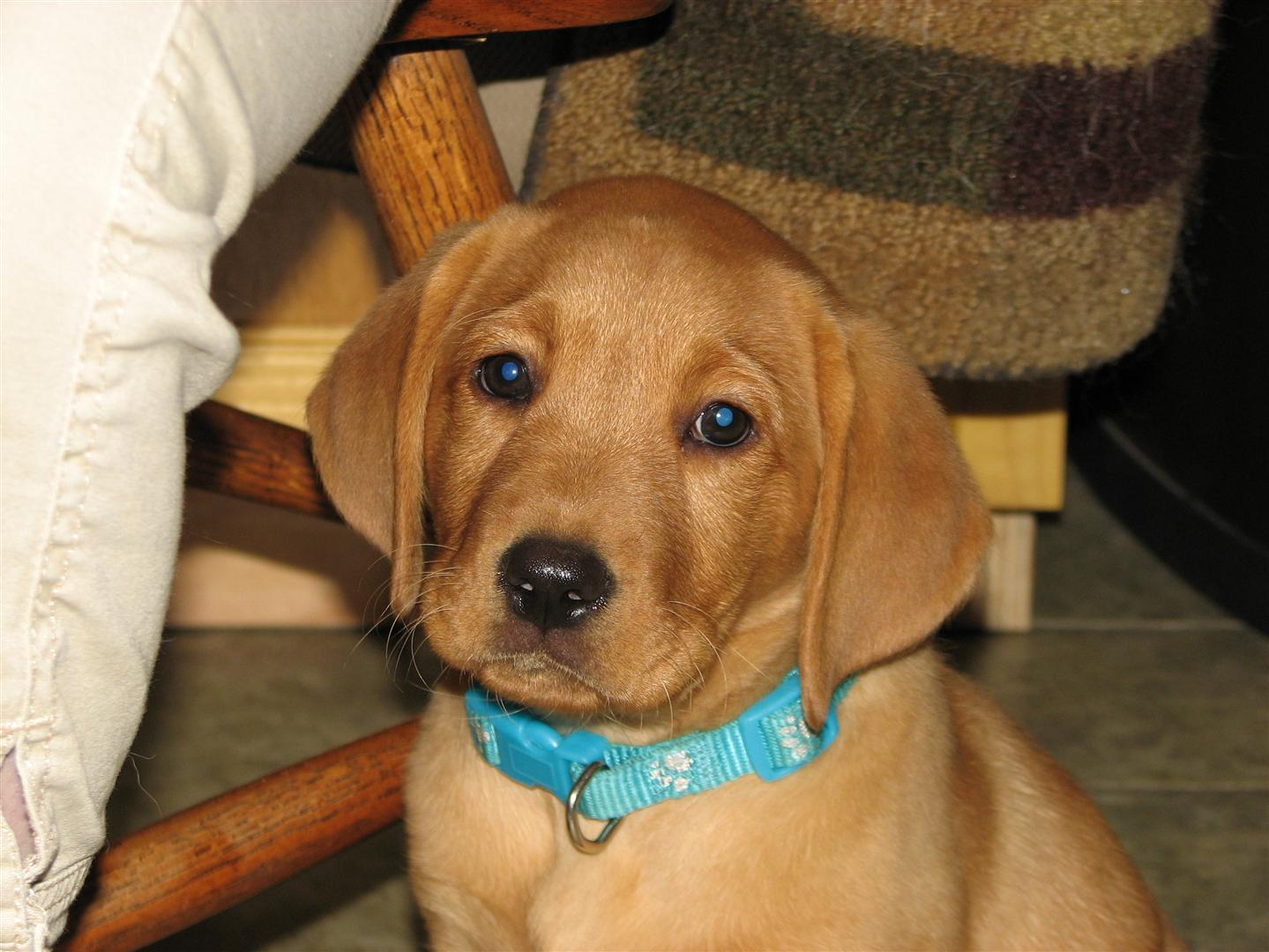 Silverwaterlabs family We sell Silver, Charcoal & Fox Red Labradors