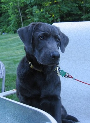 Silverwater Labradors We Sell Silver Charcoal Fox Red Chocolate