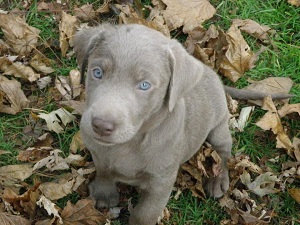 Silverwater Labradors We sell Silver, Charcoal, Fox Red