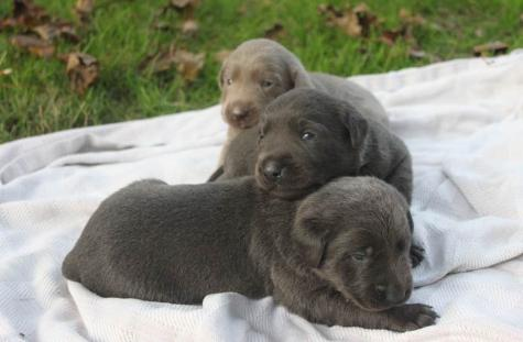 Silver and Charcoal Labradors