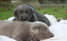 Silver and Charcoal Labrador puppies