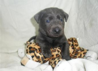 Charcoal Male Blue Collar