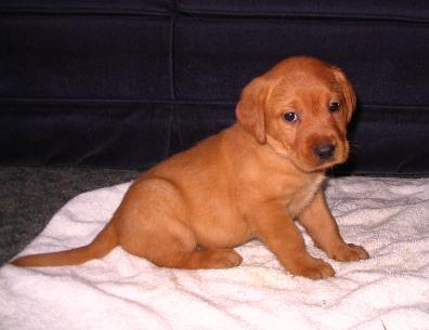 Silverwaterlabs fox red Labrador Ruby