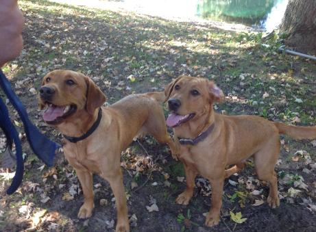 Silverwater labs Fox Red Labradors Ruby and Blaze