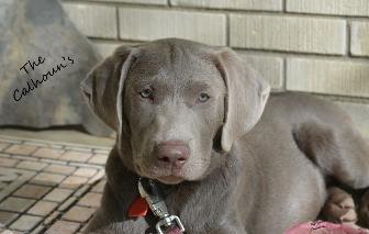 Bronx ( Silver ) AKC - 1 YEAR HEALTH GUARANTEE!!! - Labrador Retriever Puppy  for Sale in Sugarcreek, OH